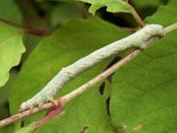 ヨモギエダシャクの幼虫