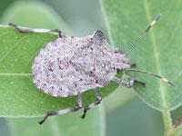 ヨツボシカメムシの幼虫