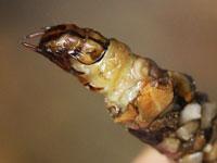 ヨツメトビケラの幼虫