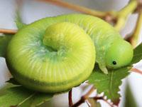 ヨウロウヒラクチハバチの幼虫